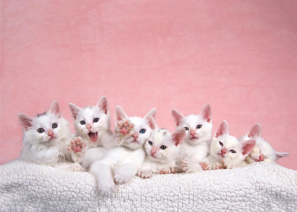 white kittens cats