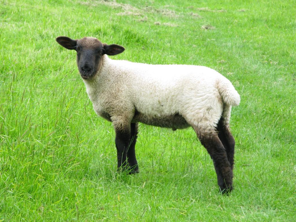 mary lamb history animal - historical facts
