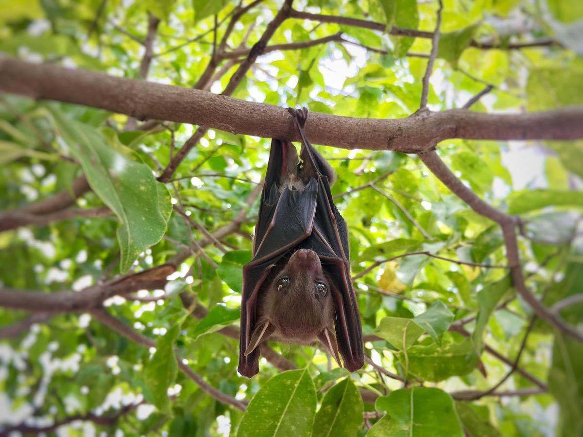 little brown bat, astonishing facts