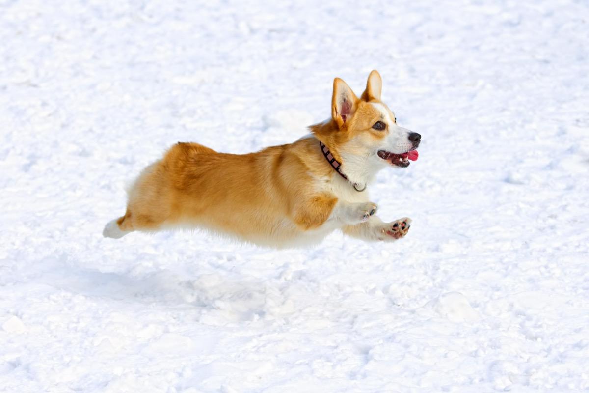 pembroke corgi running in snow