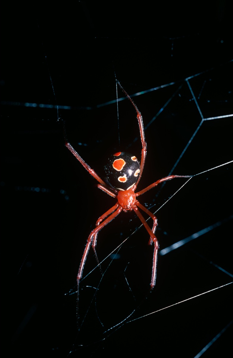 Red widow spider (Latrodectus bishopi: Theridiidae) female in her web in the embrace of a fan palm in woodland, Florida, USA
