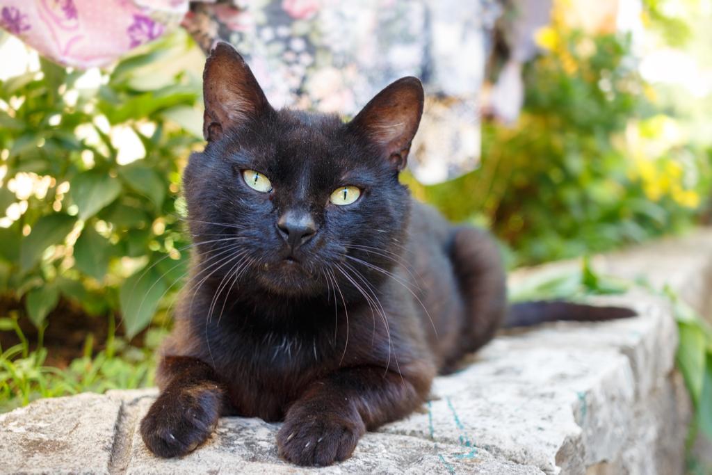 Black Cat animal stories