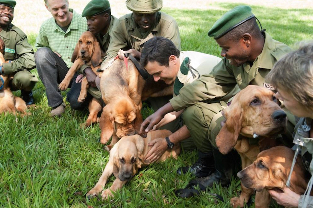 Bloodhounds Ending Poaching Animals Who Are Real-Life Heroes