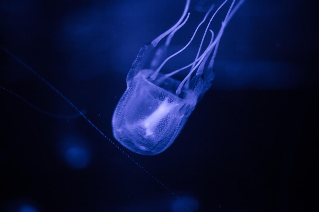 Box jellyfish - deadliest animals