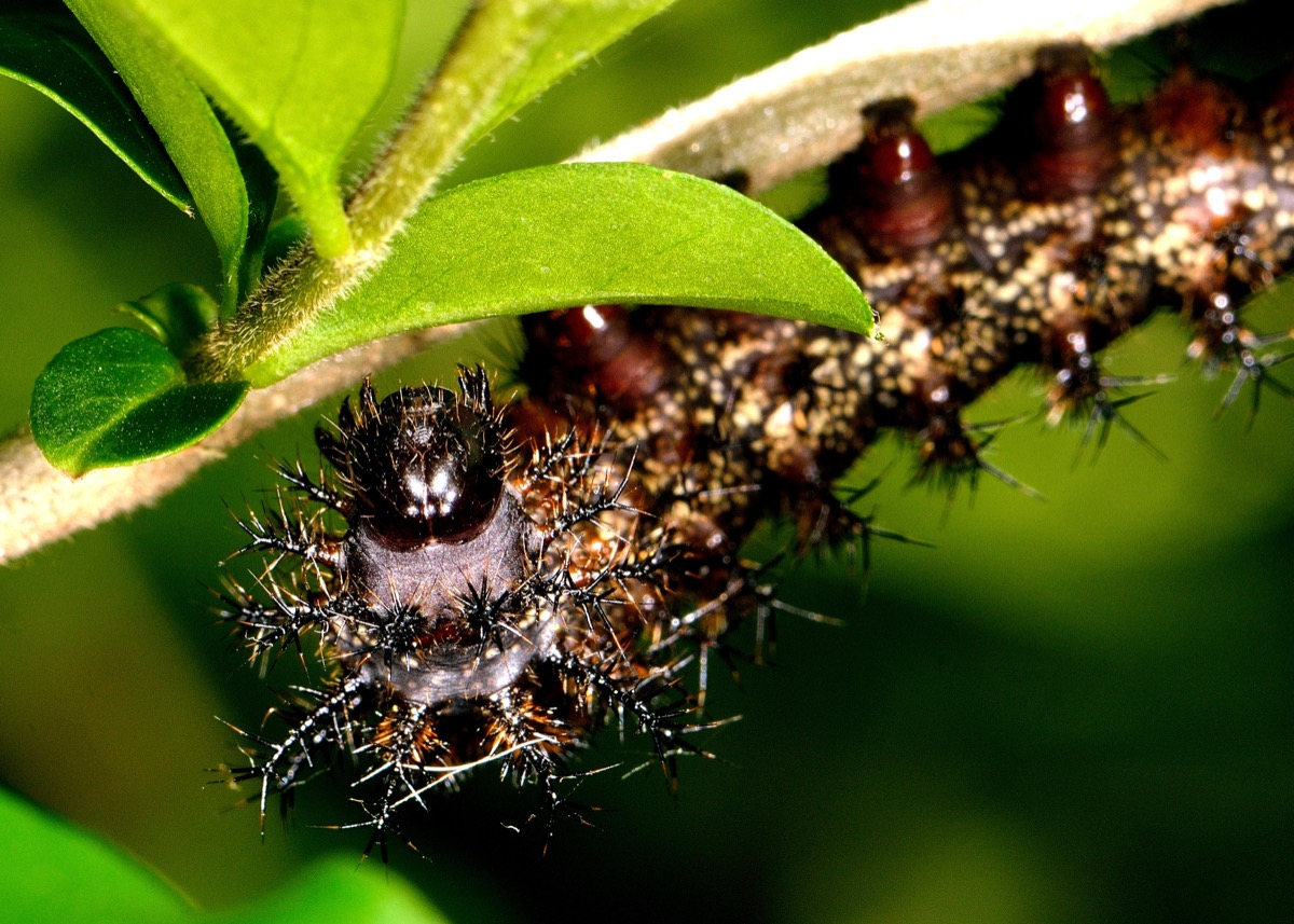 buck moth caterpillar dangerous bugs in america