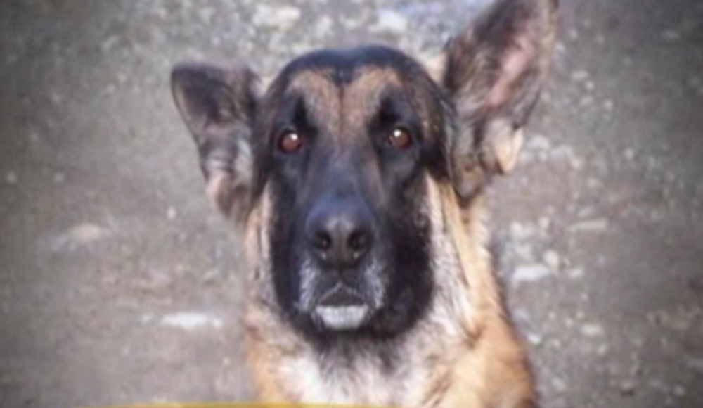 Buddy the German Shepherd Animals Who Are Real-Life Heroes