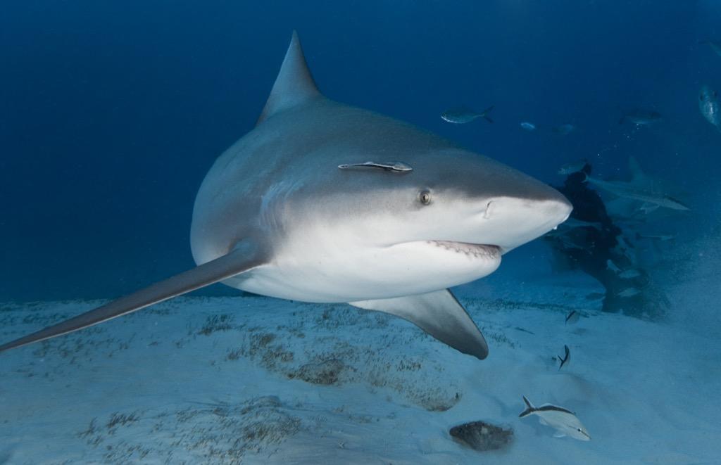 bull shark - deadliest animals