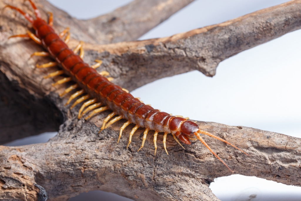 A centipede on a branch