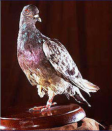 Cher Ami the Carrier Pigeon Animals Who Are Real-Life Heroes