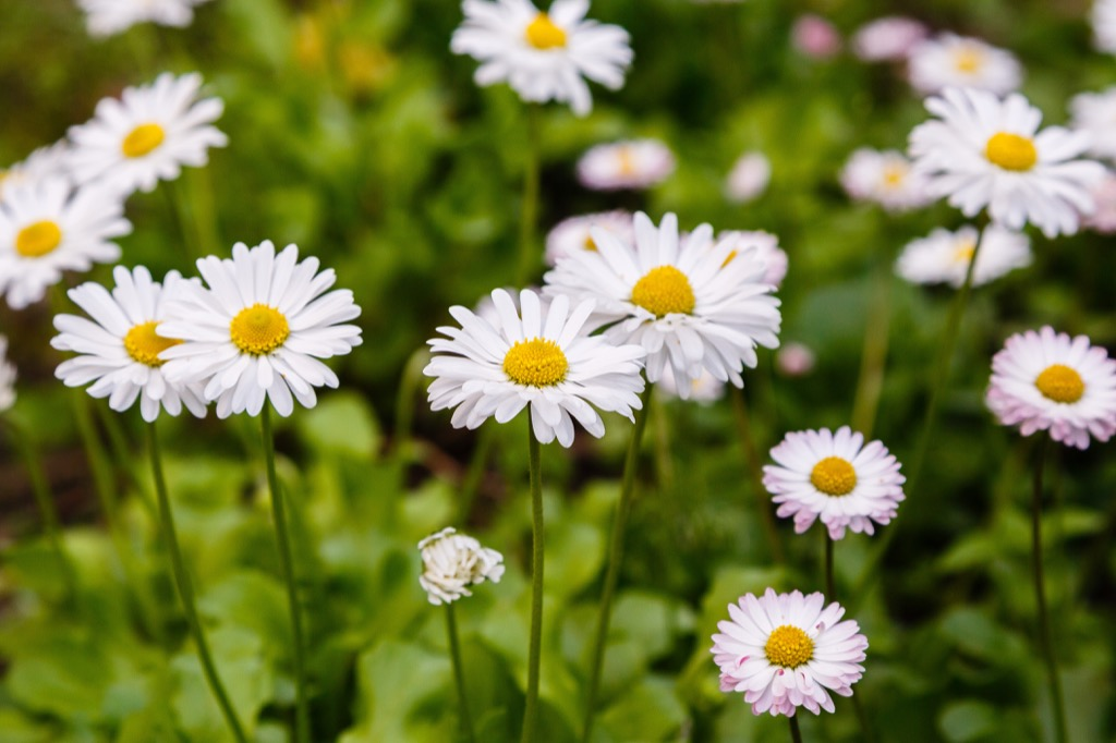 Daisy flowers, easy home tips