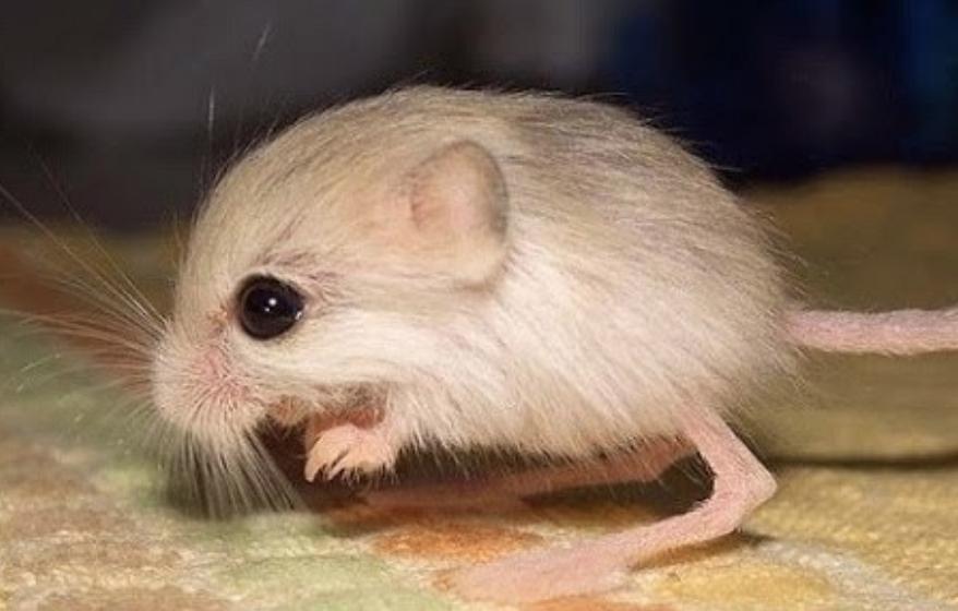Dwarf Three-Toed Jerboa Smallest Animals