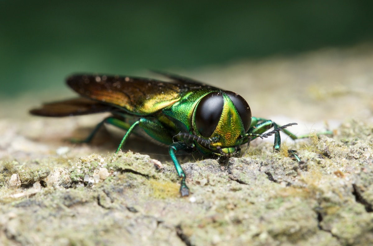 emerald ash borer dangerous bugs in america