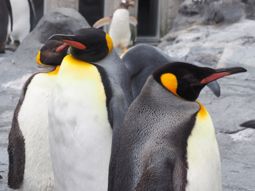 emperor penguin {How Do Animals Stay Warm}