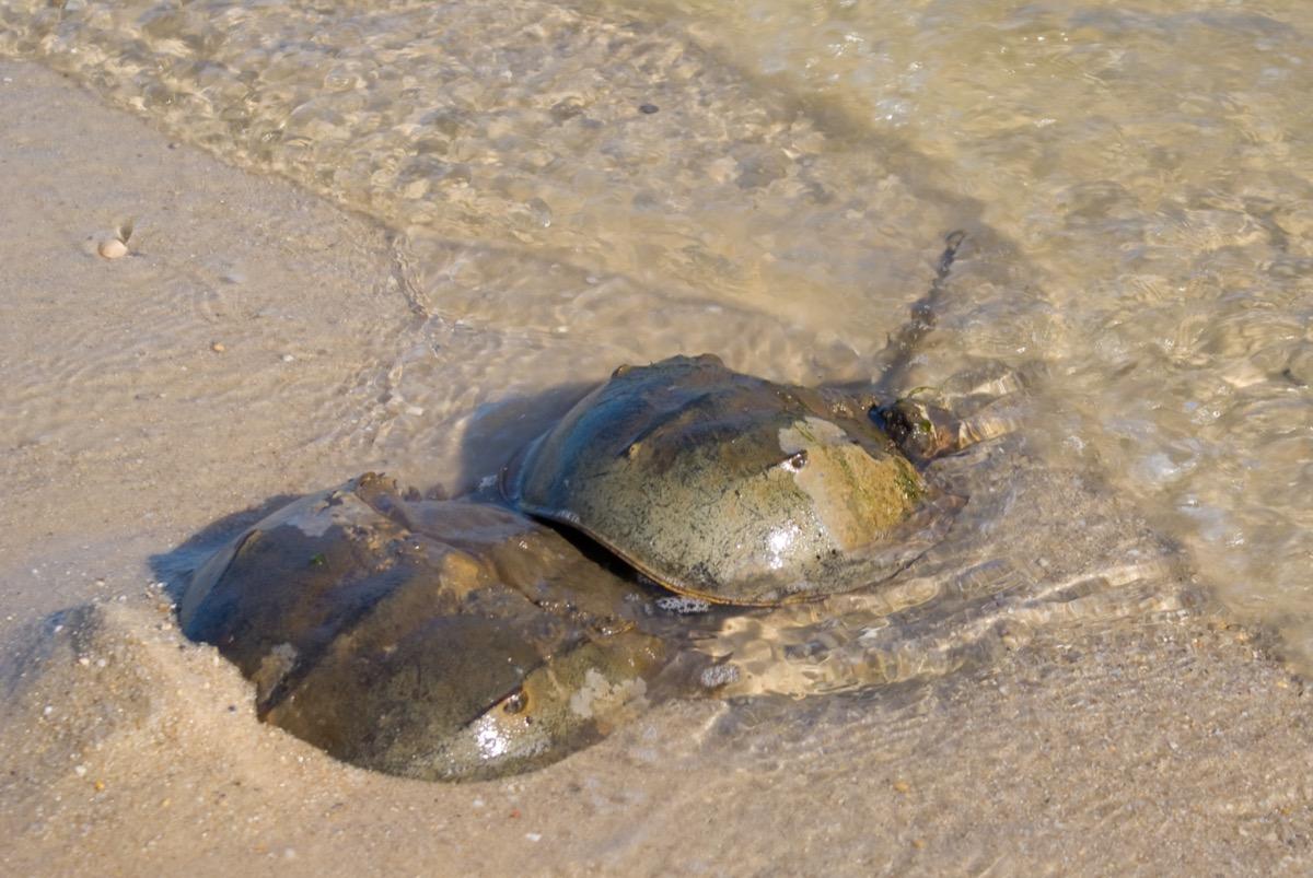 horseshoe crabs mating in delaware bay
