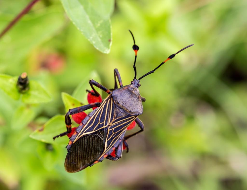 Kissing Bugs - deadliest animals