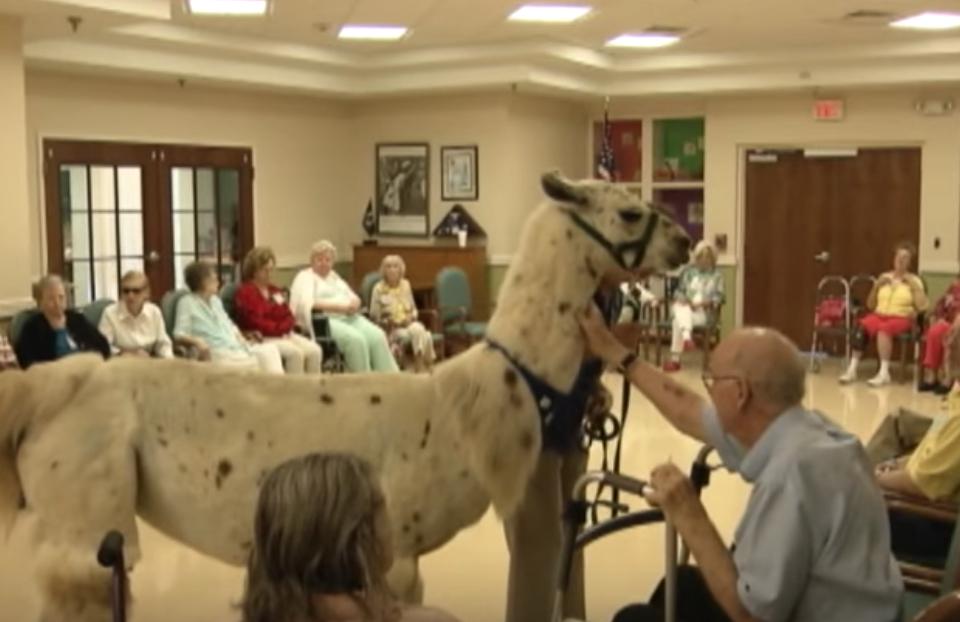 Llamas Hospice Care Animala Who Are Real-Life Heroes