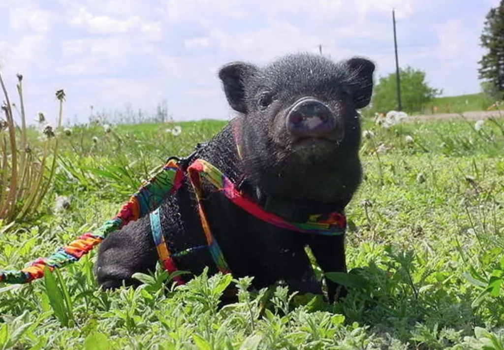 LuLu the pig animals who are real-life heroes