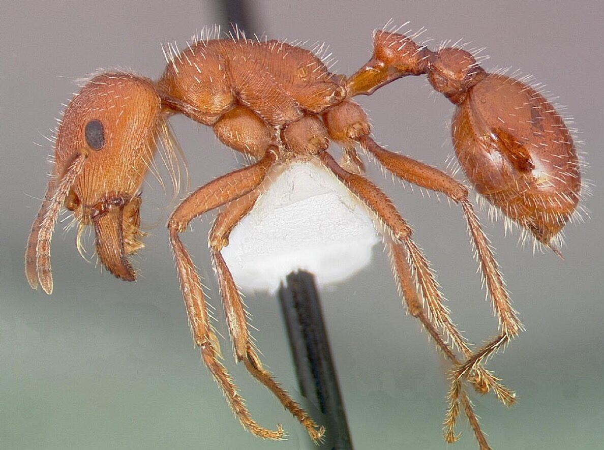 maricopa harvester ant dangerous bugs in america