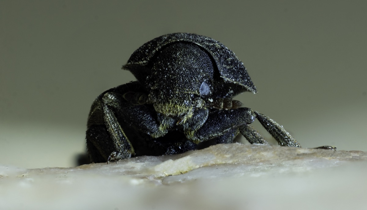 mountain pine beetle dangerous bugs in america