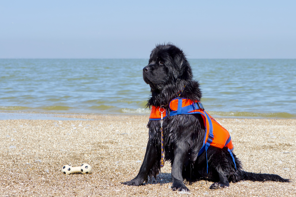 Newfoundland things you never knew dogs could do