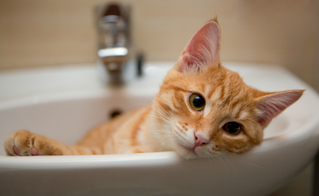 Orange and White Tabby Cat Animals Who Are Real-Life Heroes