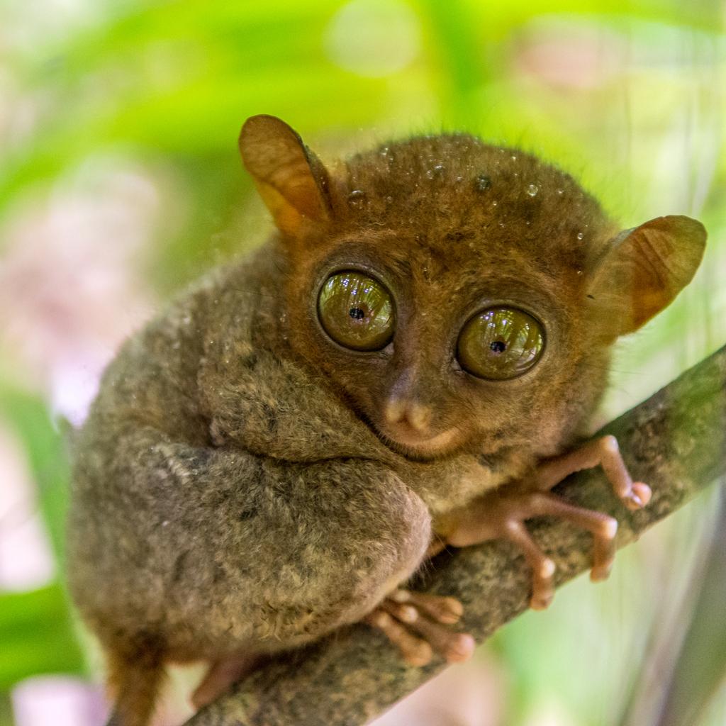 Philippine Tarsier Smallest Animals