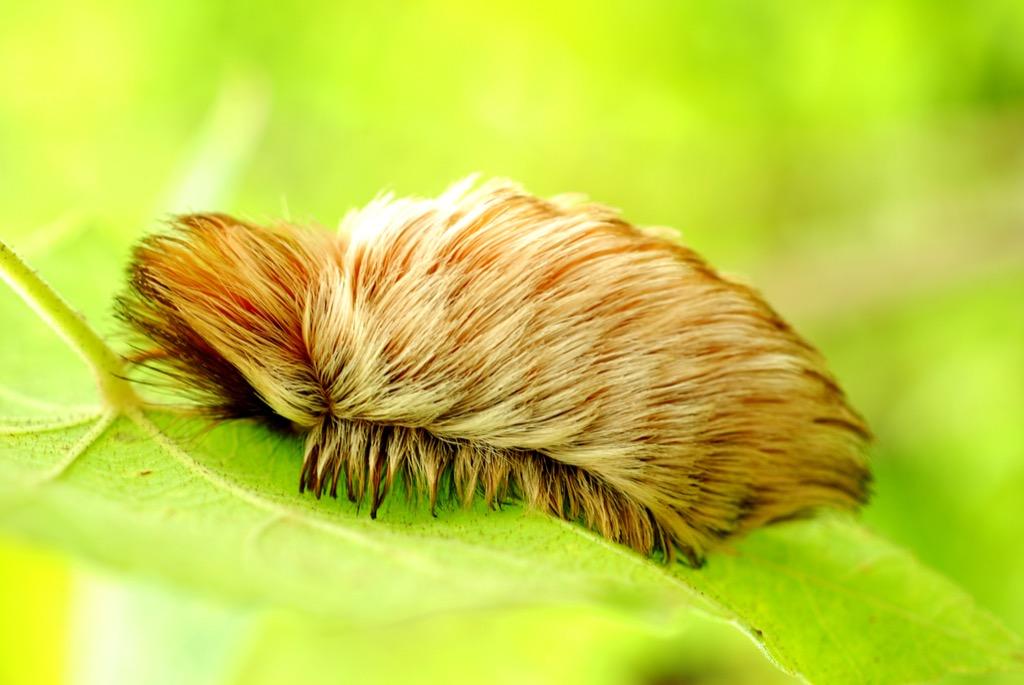 fuzzy puss caterpillar