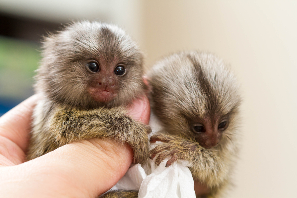 Pygmy Marmoset Surreal Places in the U.S.