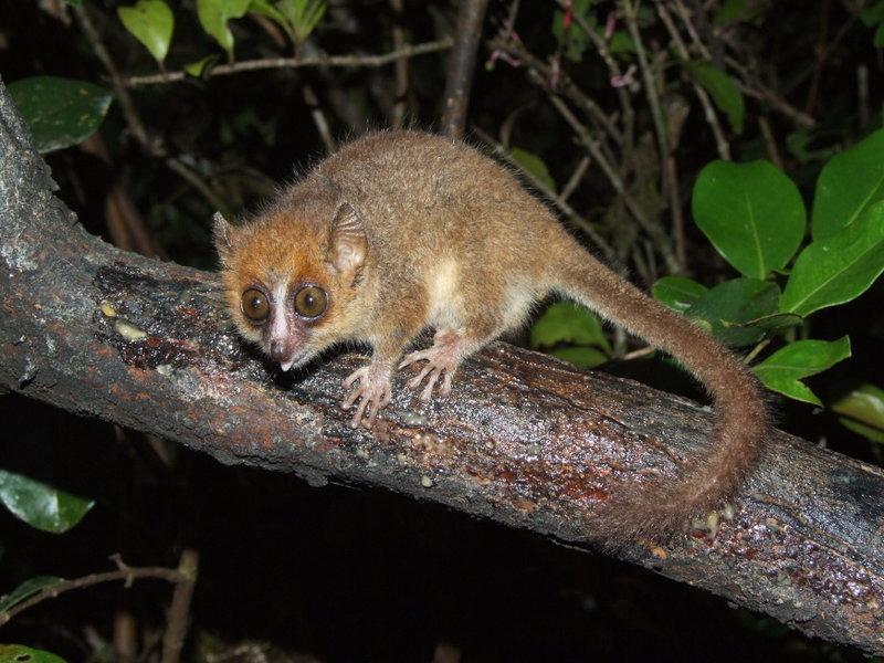 Pygmy Mouse Lemur Smallest Animals