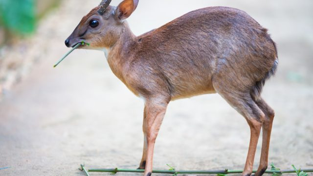 Royal Antelope Smallest Animals