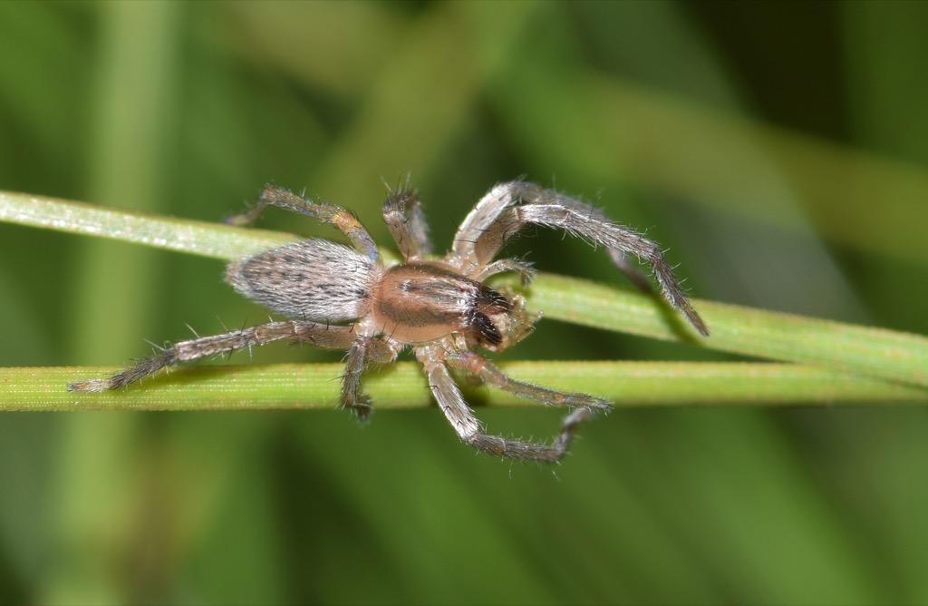 Sac spiders