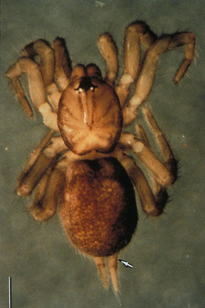 Samoan Moss Spider Smallest Animals