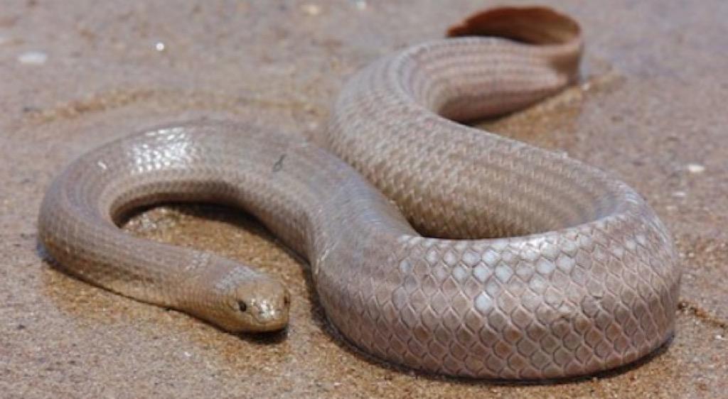 Dubois sea snake