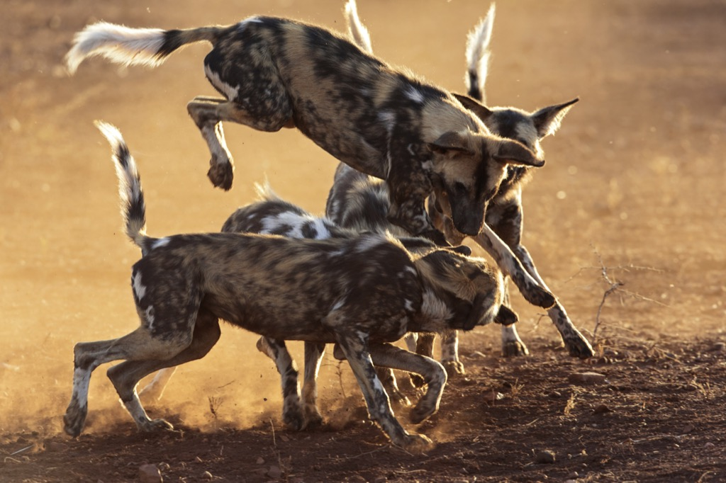 African wild dogs fighting