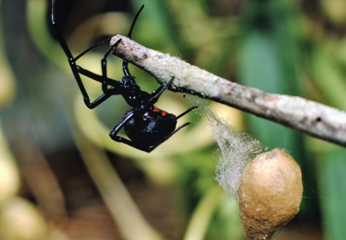 southern black widow spider dangerous bugs in america