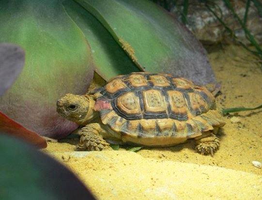 Speckled Padloper Tortoise Smallest Animals