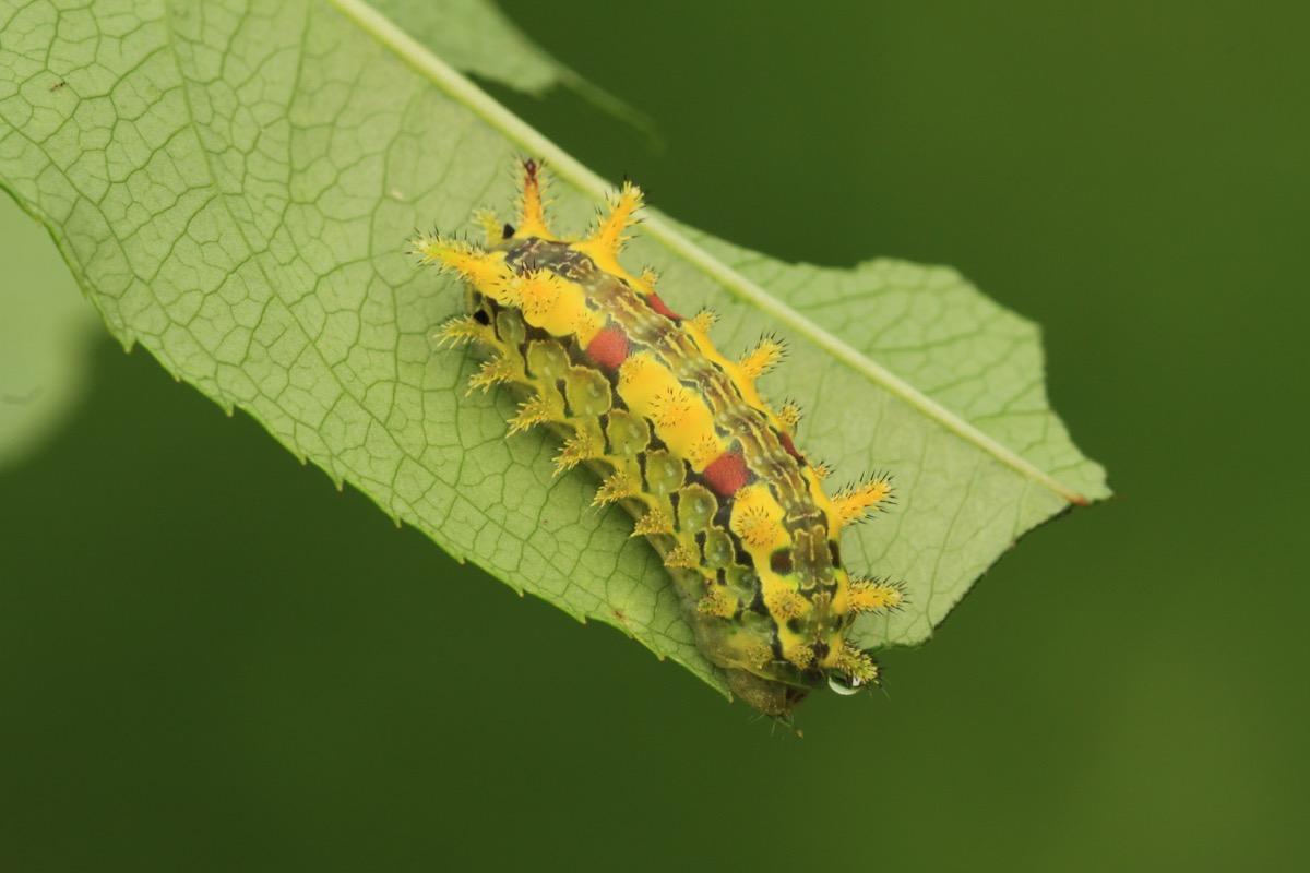 spiny oak-slug caterpillar dangerous bugs in america