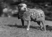 Stubby World War I Animals Who Are Real-Life Heroes