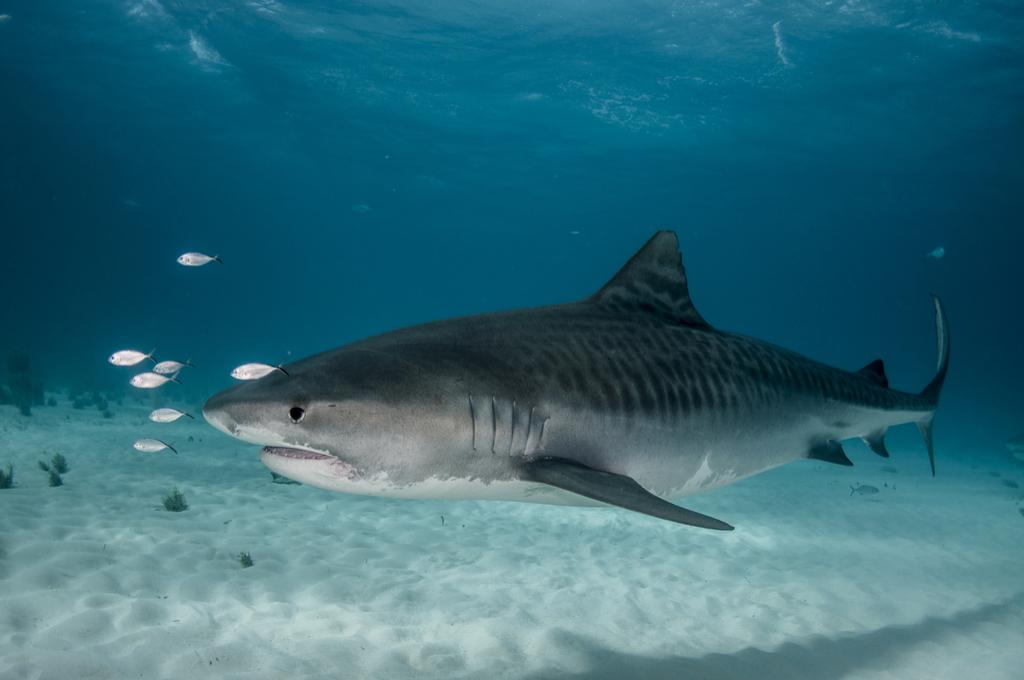 Tiger Shark Attack