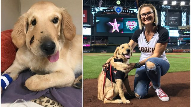 Todd, the golden retriever who saved his owner from a rattlesnake bite, was honored by the Arizona Diamonds as a hero on Sunday.