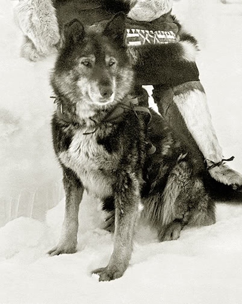 Togo the Sled Dog Animals Who Are Real-Life Heroes