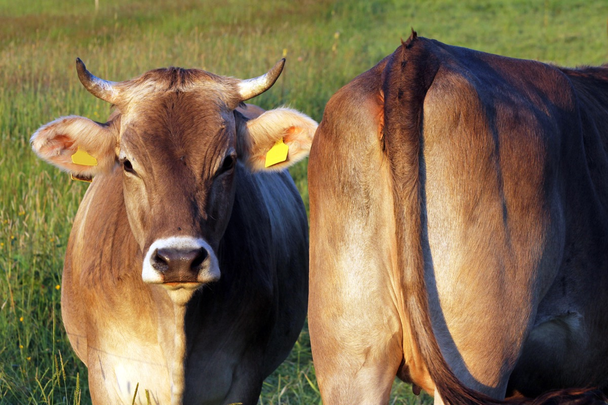 two cows in a grass field