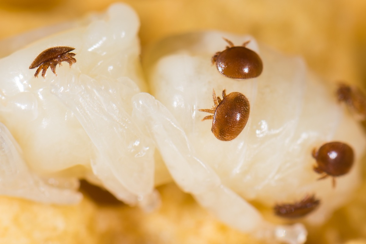 varroa mites dangerous bugs in america