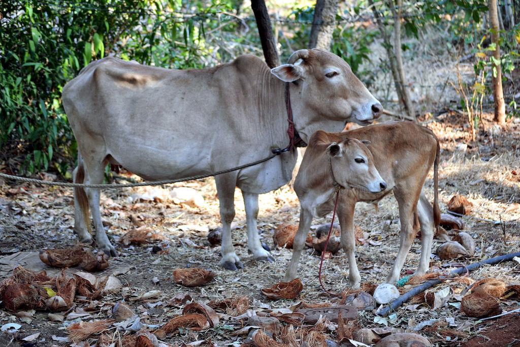Vechur cow Smallest Animals