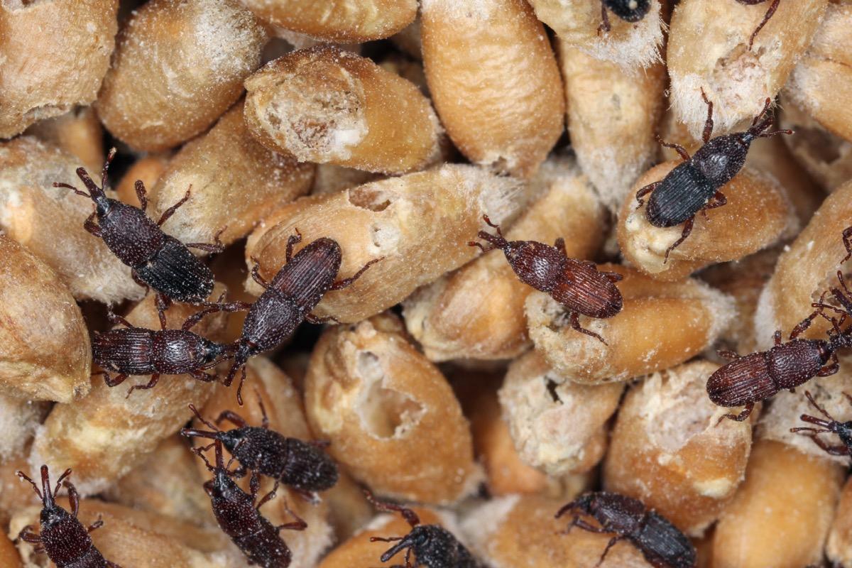 what weevils dangerous bugs in america