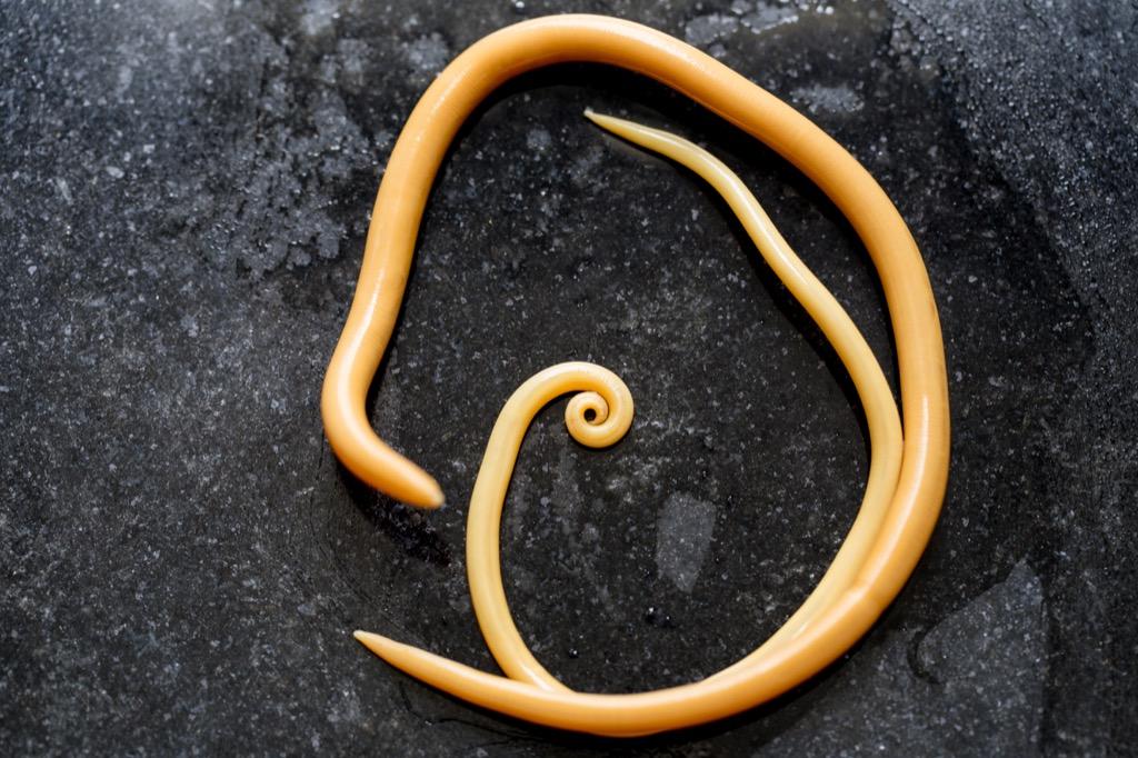 Ascarias Worm - deadliest animals