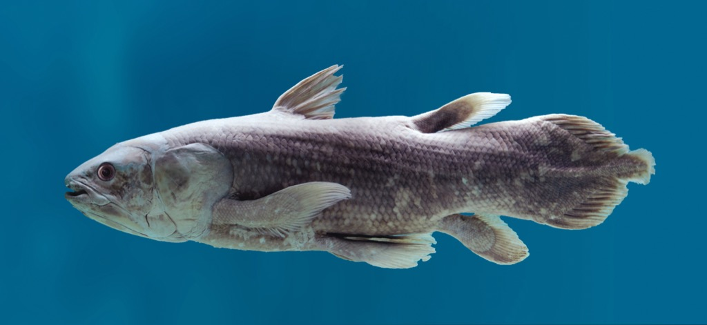 Coelacanth fish 30 oldest animals on earth