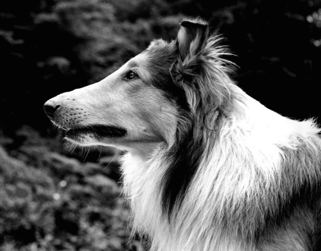 Pal Lassie