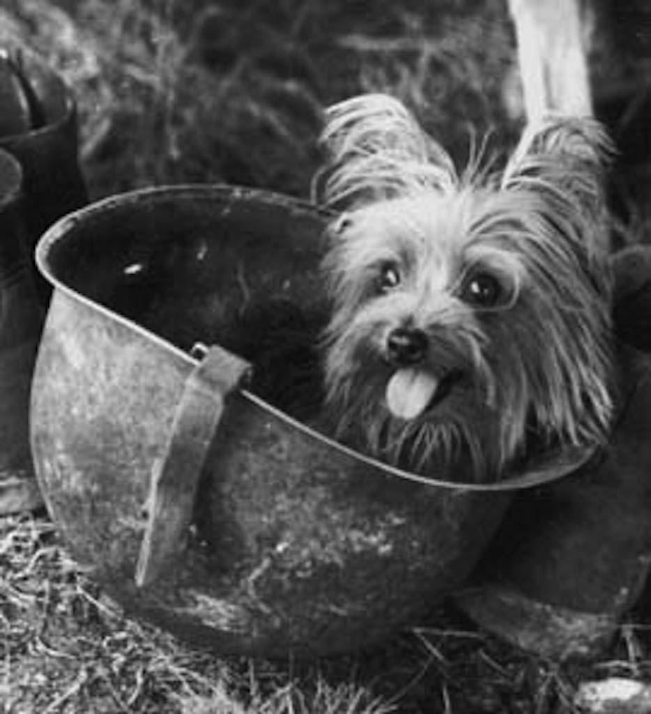 Smoky war dog