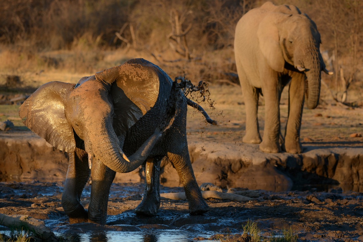 two african bush elephants in the water, amazing facts